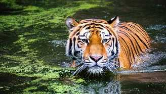 Amazing information about Tiger in Gujarati
