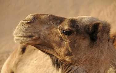 Essay on Camel in Gujarati