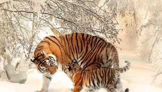 Project Tiger in Gujarati