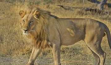 Size of about lion in Gujarati