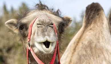Some interesting facts about camel in Gujarati