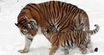 Useful Information about Tiger in Gujarati